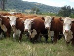 В Саракташском районе увеличивается поголовье скота